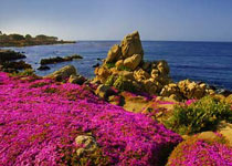 wildflowers_pacificgrove_pink